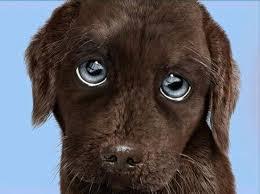 blå ögon hund