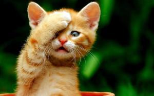 oh no cat