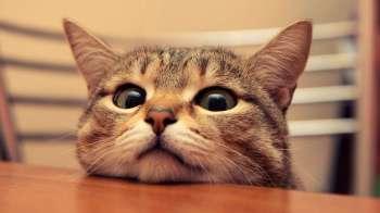 Cute-Cat-on-the-Table_www.FullHDWpp.com_